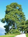 Villa-Melzi-dEril-Pinus-montezumae