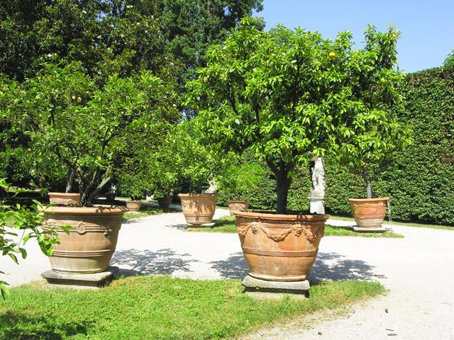 Aggiornamenti dall orto il limone cal the pal for Limoni in vaso