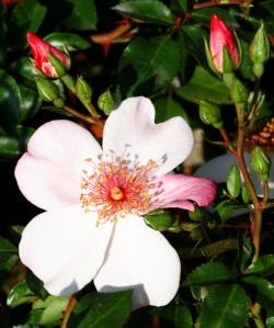rosa-astronomia-meilland