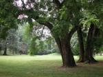 antiche-sophora-nel-parco-di-villa-trissino-marzotto