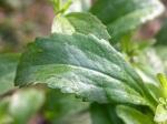 foglia-di-stevia-rebaudiana