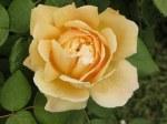 rosa-charles-darwin-austin-2001
