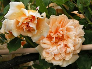 rosa-crepuscule-noisette-delbard-1904