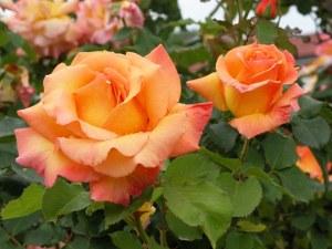 rosa-sconosciuta