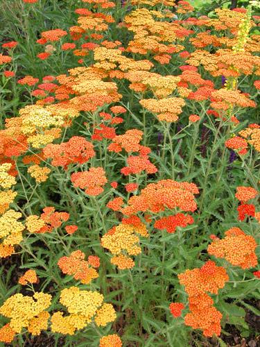 15 erbacee perenni a crescita lampo mimma pallavicini s for Perenni da giardino