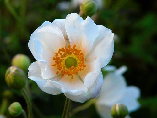 15 erbacee perenni a crescita lampo mimma pallavicini s for Fiori estivi perenni