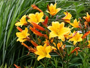 hemerocallis-golden-chimes