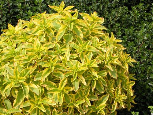 15 erbacee perenni a crescita lampo mimma pallavicini s for Cespugli fioriti perenni da giardino