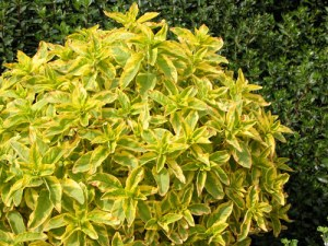 Lysimachia-punctata-golden-nalexander