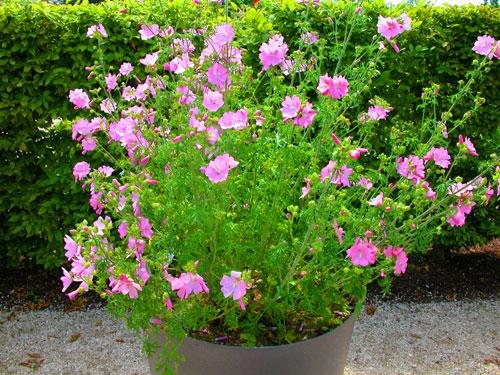 15 erbacee perenni a crescita lampo mimma pallavicini s for Piante fiorite perenni da esterno
