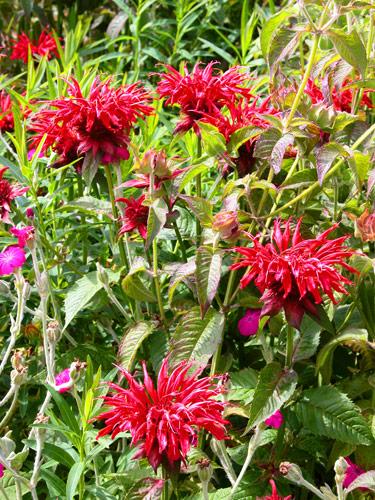fiori perenni per giardini lunga fioritura