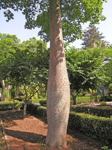 Signora con giardino » palazzo-parisio-il-tronco-spinoso-di-chorisia