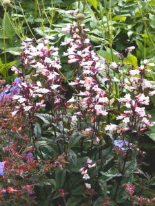 penstemon-digitalis-huskers-red
