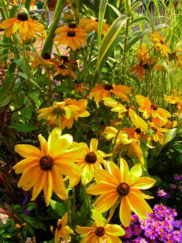 15 erbacee perenni a crescita lampo mimma pallavicinis weblog rudbeckia hirta altavistaventures Image collections