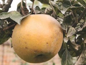 mela-renetta-grigia-di-torriana