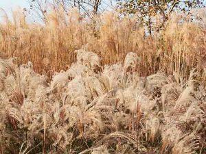 gruppo di miscanthus-in-autunno