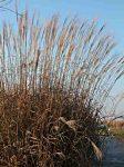 miscanthus-sinensis-herman-mussel-fine-novembre