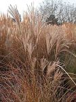 miscanthus-sinensis-morning-light-fine-novembre