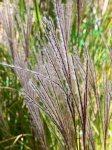 miscanthus-sinensis-punkchen-a-fine-settembre