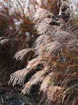 miscanthus-sinensis-variegatus-in-novembre