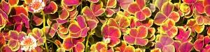 trifolium-quadrifolium.jpg