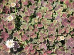 trifolium-repens-purpurascens-quadrifolium