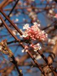 viburnum-bodnantense-in-fioritura3