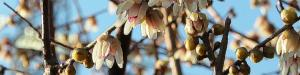cropped-chimonanthus-praecox-per-testata2.jpg