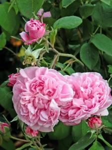 Rosa-Fantin-Latour