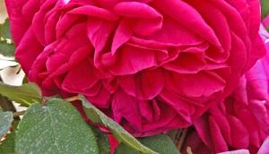 Rosa-M.me-Isaac-Pereire