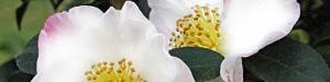 camellia-hino-de-gumo-per-testata.jpg