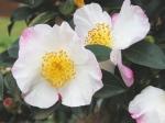 camellia-hino-de-gumo