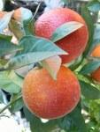 citrus-aurantium-consolej