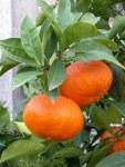 citrus-aurantium-foetifera-5