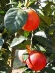 citrus-sinensis-moscato-sanguinello-21