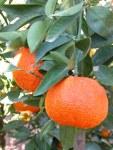 citrus-x-ortanique