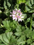 erodium-nonsoqualis