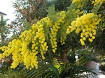 mimosa-acacia-dealbata1