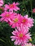 argyranthemum-pomponette-pink