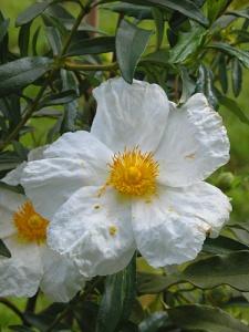 cistus-ladanifer-var-petiolatus