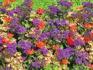 eliotropium-o-fiore-vaniglia-e-pelargonium-variegati