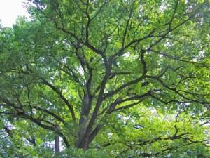 """UNA FARNIA DI VILLA MANIN PER MEDITARE SULLA VITA. """"E così mi sono accorto che un albero può assumere la stessa importanza di una persona viva. Io sento per questa pianta, che durante cinquanta e più anni ho visto fiorire e rassodarsi, una venerazione familiare, e tra noi un legame tenace, un amore completo, vivo e cupo come le sue foglie, una reciproca fiducia senza reticenze... Sarei rimasto a meditare sulla natura di quest'albero se un primo starnuto non mi avesse avvisato del pericolo che corre un vecchio, anche come me fin qui sano, a stare con i piedi nudi sul pavimento. In fretta mi sono levato, ho fatto le mie abluzioni, poi mi sono messo a preparare la colazione, e ho lasciato montare il latte mentre lo stavo sorvegliando senza distogliere i miei pensieri dall'albero, ricordando il giorno in cui arrivò, non più alto di due metri e lo impiantai e innaffiai lungamente; e, per conseguenza, convincendomi che il giro delle eredità è molto stretto, e che ci si accorge, alla fine, di essere nostro padre e nostro nonno, che la vita non ha davvero soluzione di continuità, se appena la guardiamo oltre la superficie, con l'animo rassegnato a lasciarla. """"  da Amedeo Giacomini, Il giardiniere di Villa Manin, Santi Quaranta, Treviso 2002"""