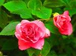 impatiens-fiesta-pink-ruffles