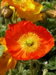 papaver-somniferum