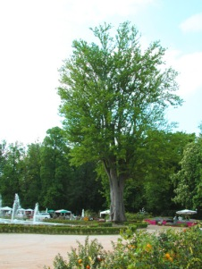 zelkova-mcarpinifolia-onumentale-colorno