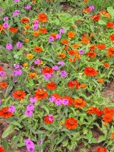 zinnia-angustifolia-profusion-e-verbena-bonariensis