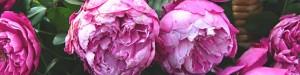 cropped-rosa-accademia-barni-2006-per-testata1.jpg