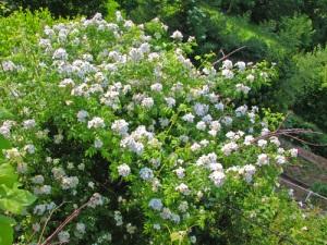 Rosa-autumnalis-a-casa-mia