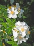 Rosa-autumnalis-dettaglio-fiori