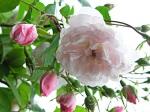 rosa-belle-vichyssoise
